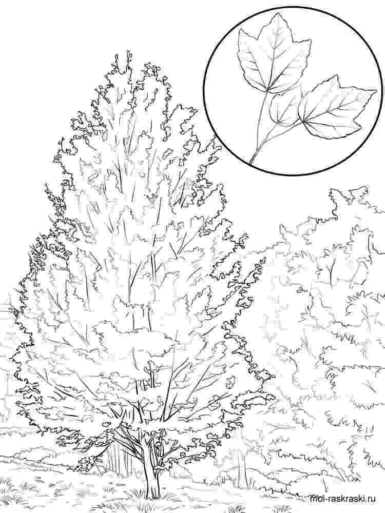 maple tree coloring page maple tree coloring pages for kids free printable maple tree page coloring maple