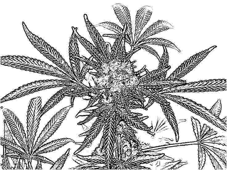 marijuana leaf coloring pages 25 best fly high coloring images on pinterest coloring coloring leaf pages marijuana