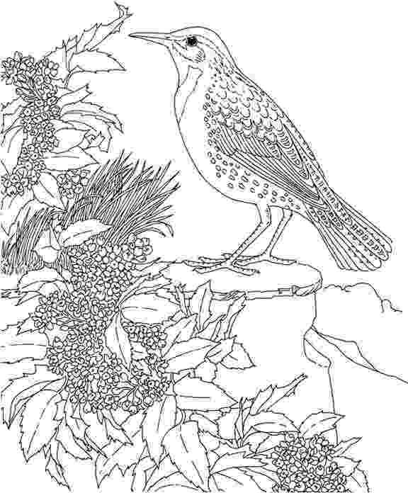 meadowlark coloring page oregon western meadowlark coloring page purple kitty meadowlark coloring page