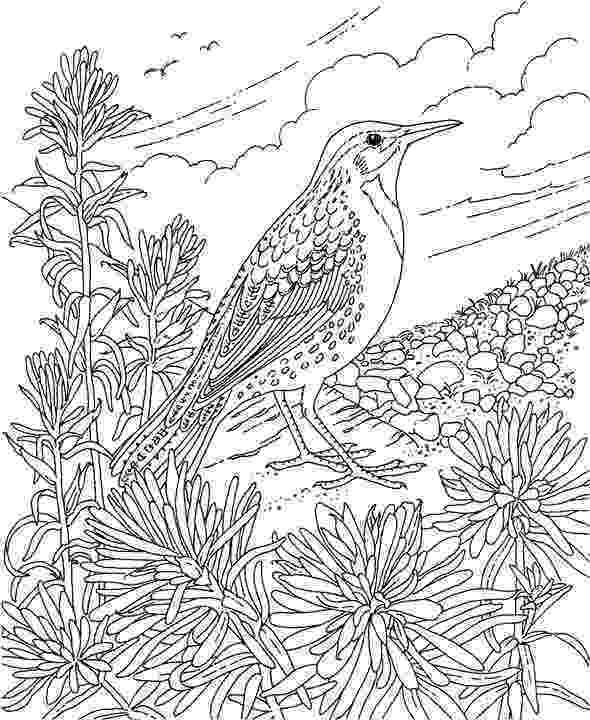meadowlark coloring page western meadowlark coloring page coloring home meadowlark page coloring