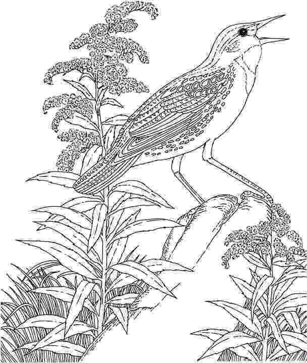 meadowlark coloring page western meadowlark coloring page coloring pages page meadowlark coloring