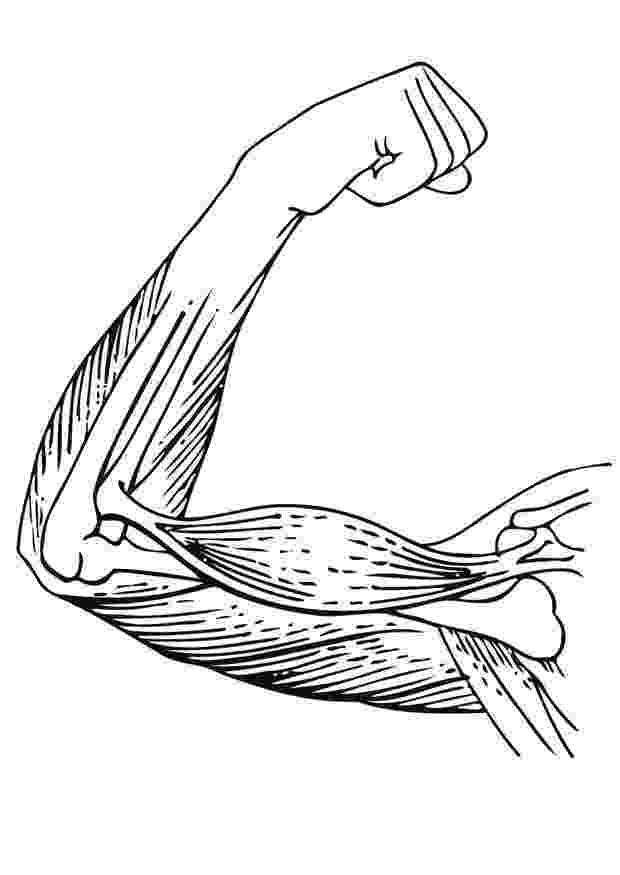 muscle coloring pages blank head and neck muscles diagram body muscles coloring pages muscle