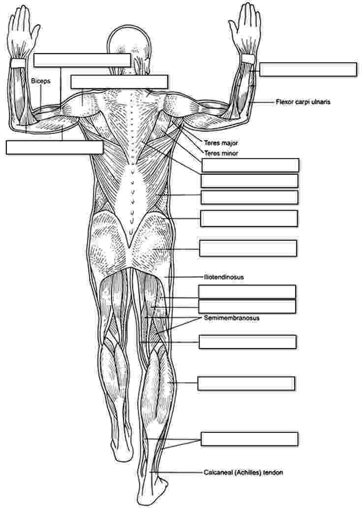muscle coloring pages muscles of the thigh and hip posterior coloring coloring pages muscle