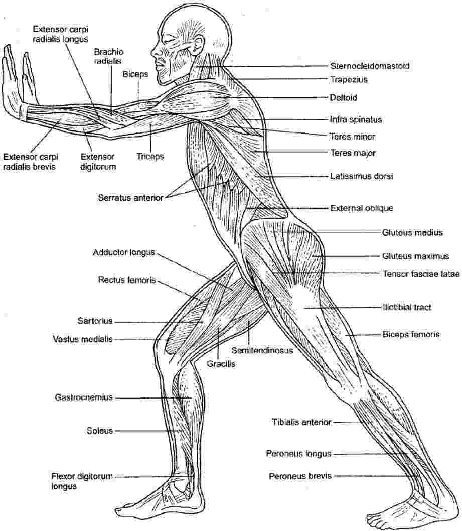 muscle coloring pages muscular system coloring sheets muscular system human pages coloring muscle