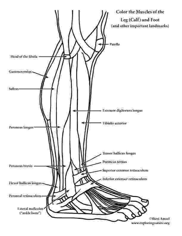 muscle coloring pages the muscular system coloring pages coloring home muscle coloring pages
