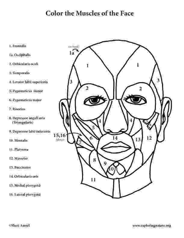 muscle coloring pages unlabeled posterior muscle diagram muscular system pages coloring muscle