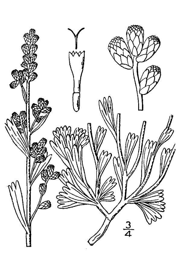 nevada state flower large image for artemisia tridentata big sagebrush state flower nevada
