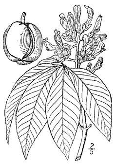 ohio state tree coloring page kansas state tree coloring page free printable coloring state page ohio coloring tree