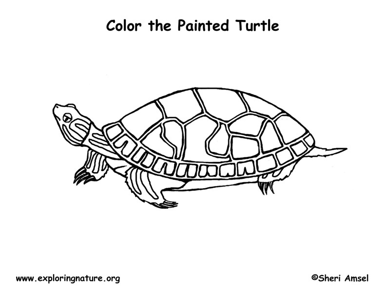 painted turtle coloring page painted turtle coloring page turtle painted page coloring