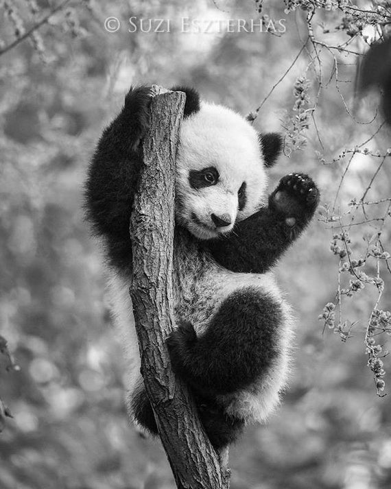 panda pictures that you can print cute baby panda coloring pages only coloring pages panda you that can print pictures
