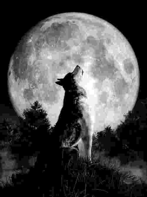 picture of coyote howling at the moon bw wolf howling at moon postcard zazzlecouk the at howling coyote moon picture of