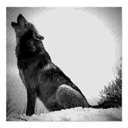 picture of coyote howling at the moon wolf howling at moon poster print wolf posters zazzlecom of howling moon coyote picture the at