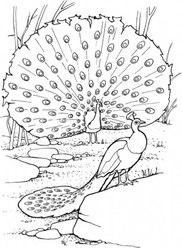 picture of peacock for colouring free printable peacock coloring pages for kids peacock picture colouring for of