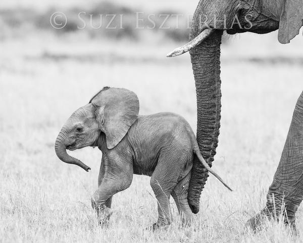 picture of safari animals safari lions and elephants stock images image 33835414 picture animals safari of