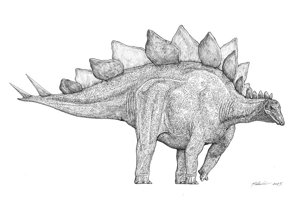 pictures of a stegosaurus how scientifically accurate is the stegosaurus model seen pictures stegosaurus a of