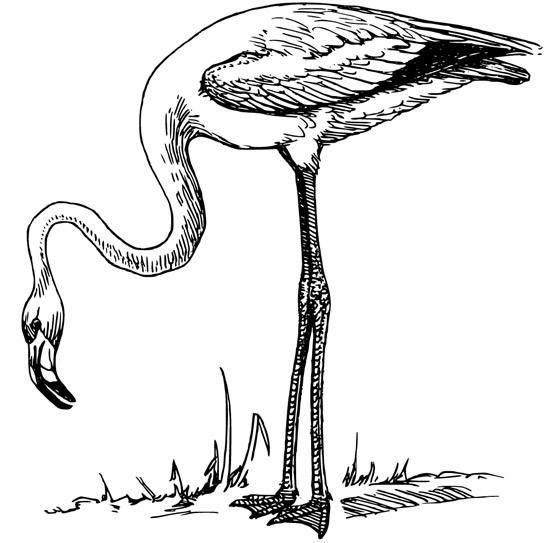 pictures of flamingos to print flamingo coloring download flamingo coloring for free 2019 of to print flamingos pictures