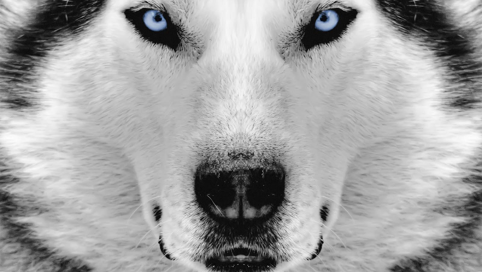 pictures of huskies 479 best siberian husky images on pinterest siberian of pictures huskies