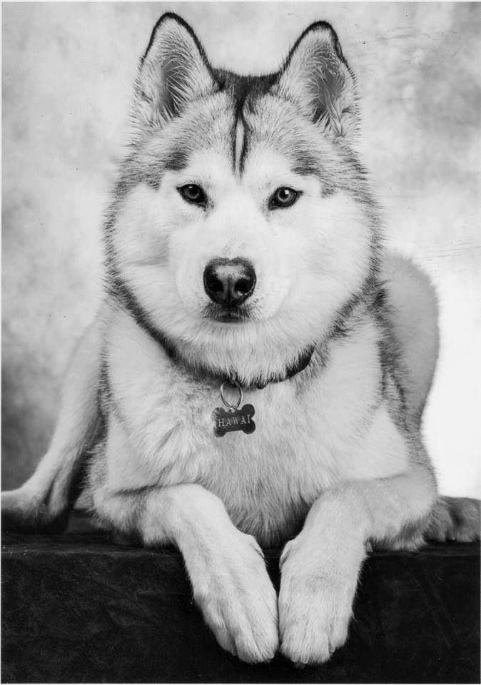 pictures of huskies beautiful husky siberian husky dogs husky husky puppy huskies pictures of