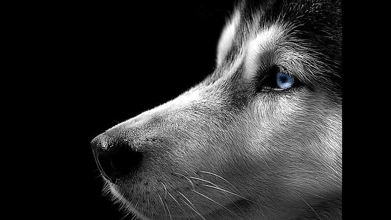 pictures of huskies black and white husky photography wallpapers gallery huskies pictures of