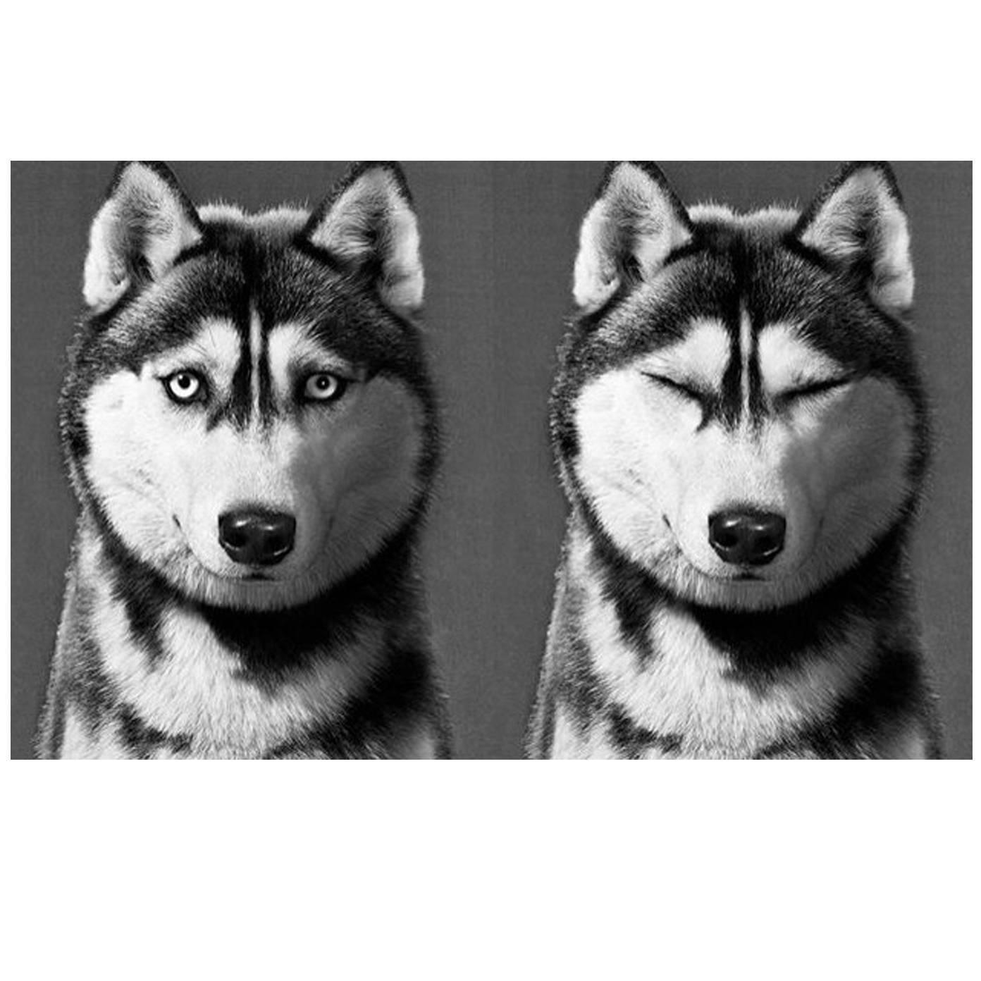 pictures of huskies blue eye brown eye husky of pictures huskies