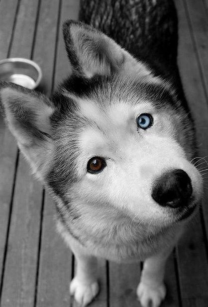pictures of huskies download free siberian husky wallpapers pixelstalknet of pictures huskies