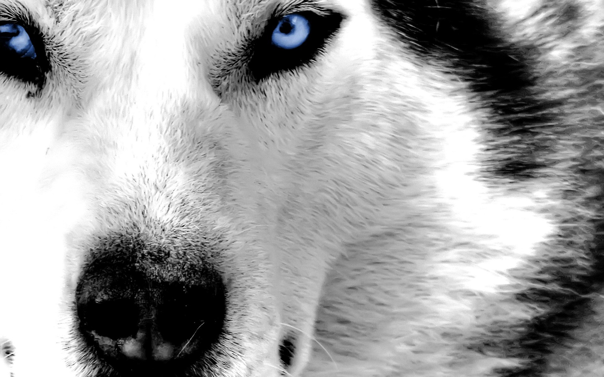 pictures of huskies download the best hd husky wallpapers for ios and android huskies pictures of