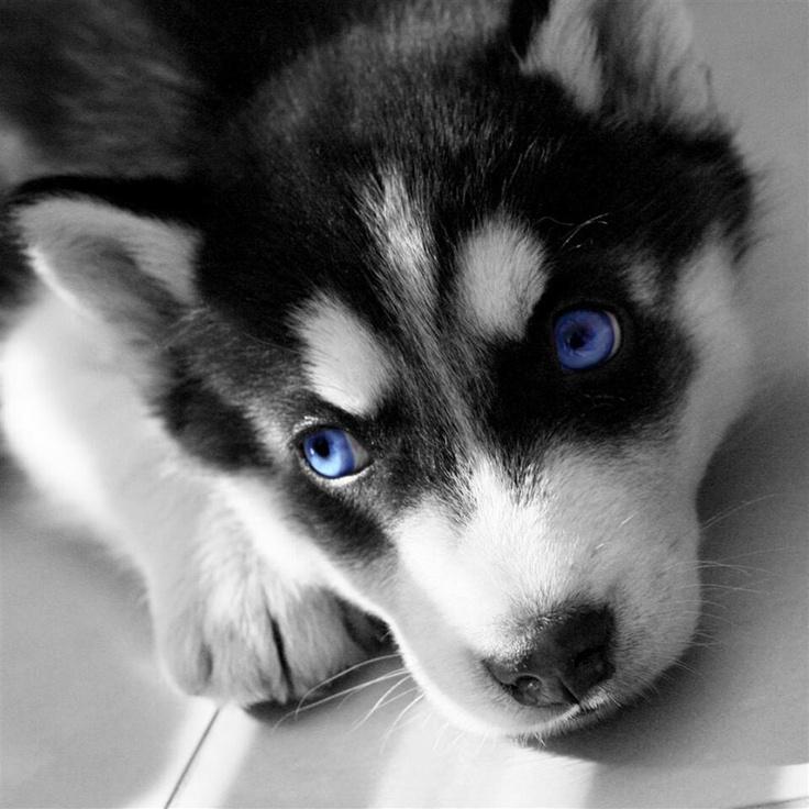 pictures of huskies history of sleddogs hetta huskies dog sledding finland of pictures huskies