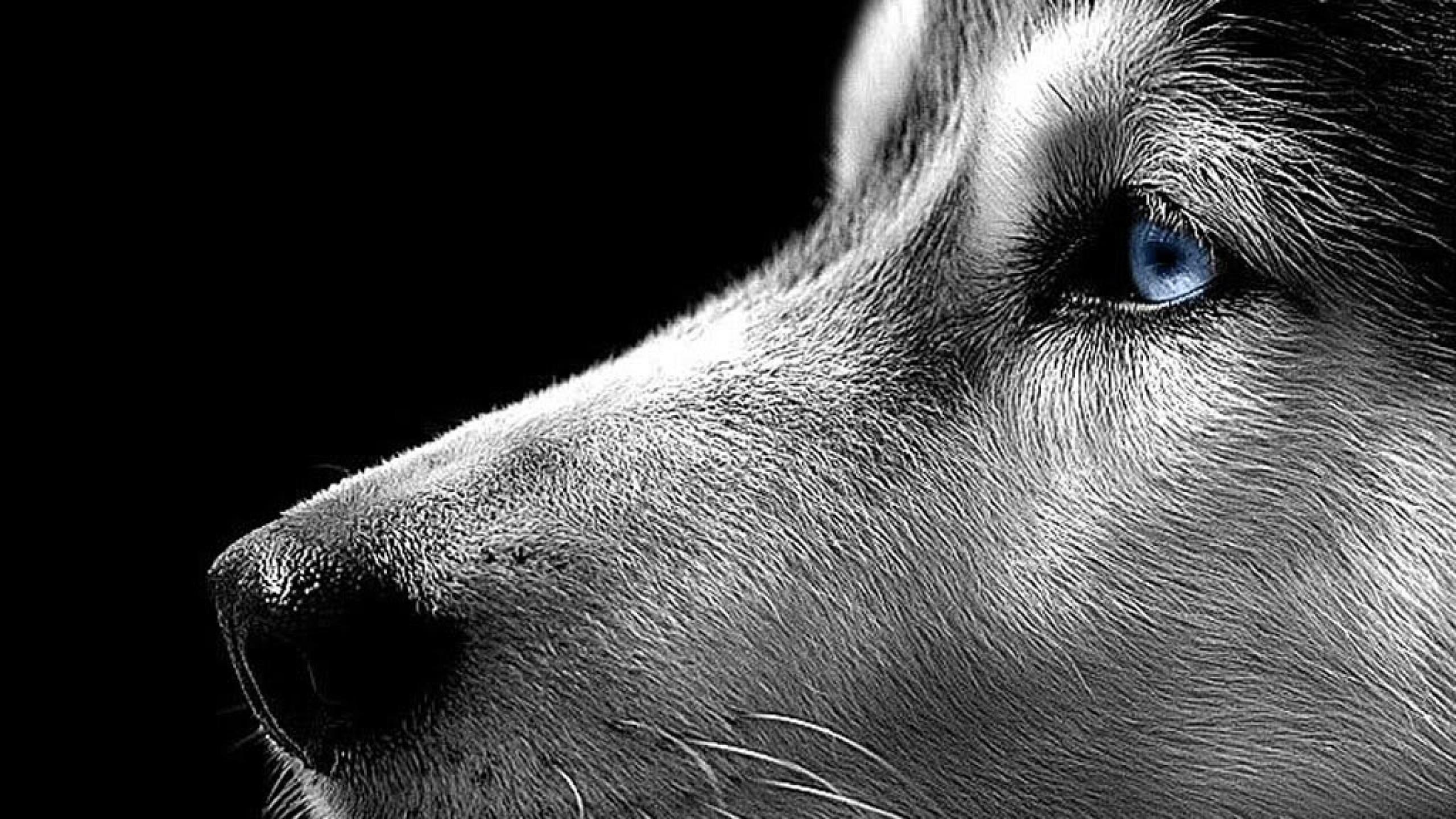 pictures of huskies husky hd wallpapers movie hd wallpapers huskies pictures of