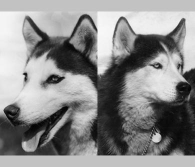 pictures of huskies siberian husky print for sale at 1stdibs huskies pictures of