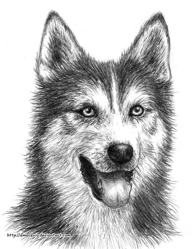 pictures of huskies wallpaper husky pup wallpaper pictures huskies of