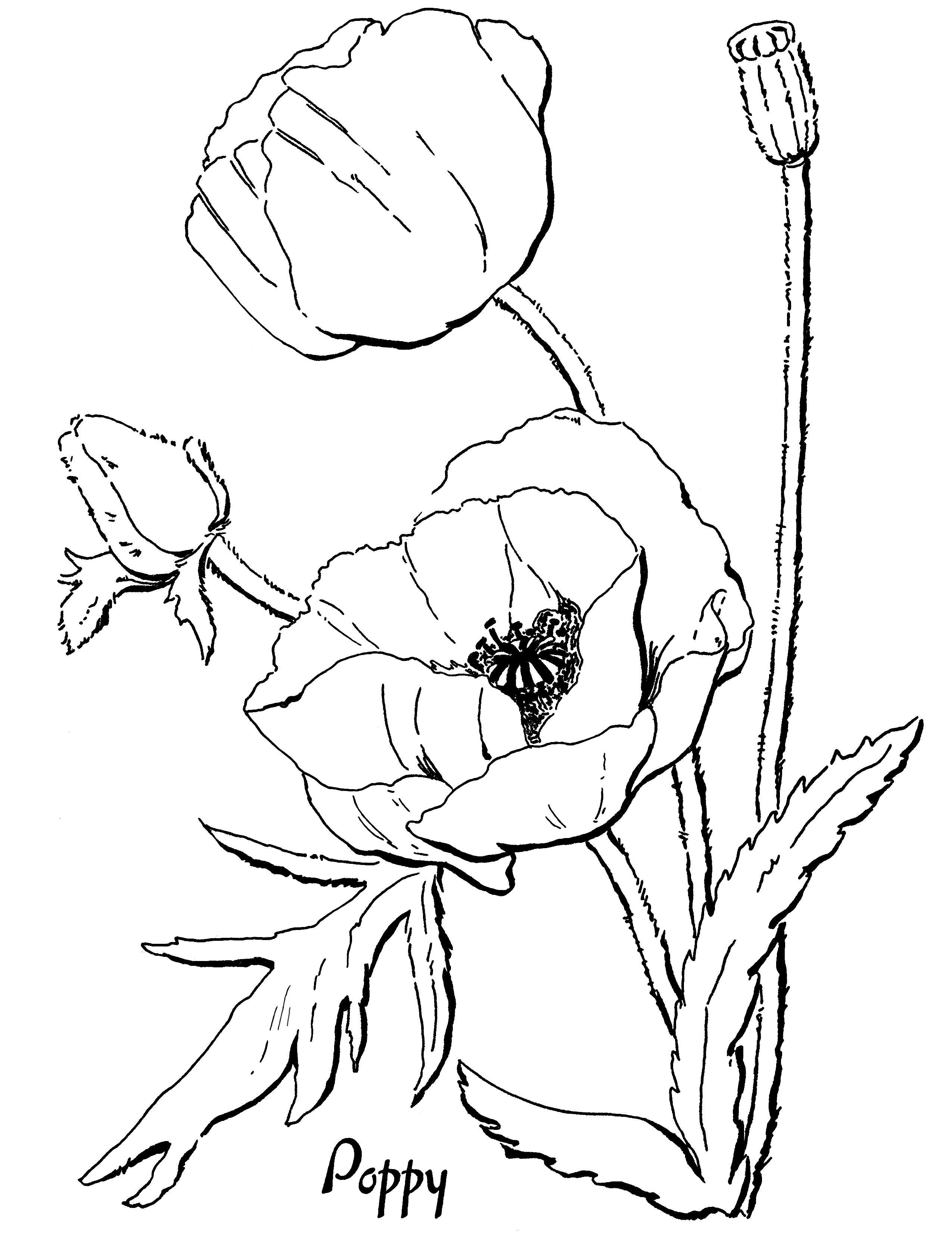 poppy coloring page poppy coloring page free printable coloring pages coloring page poppy
