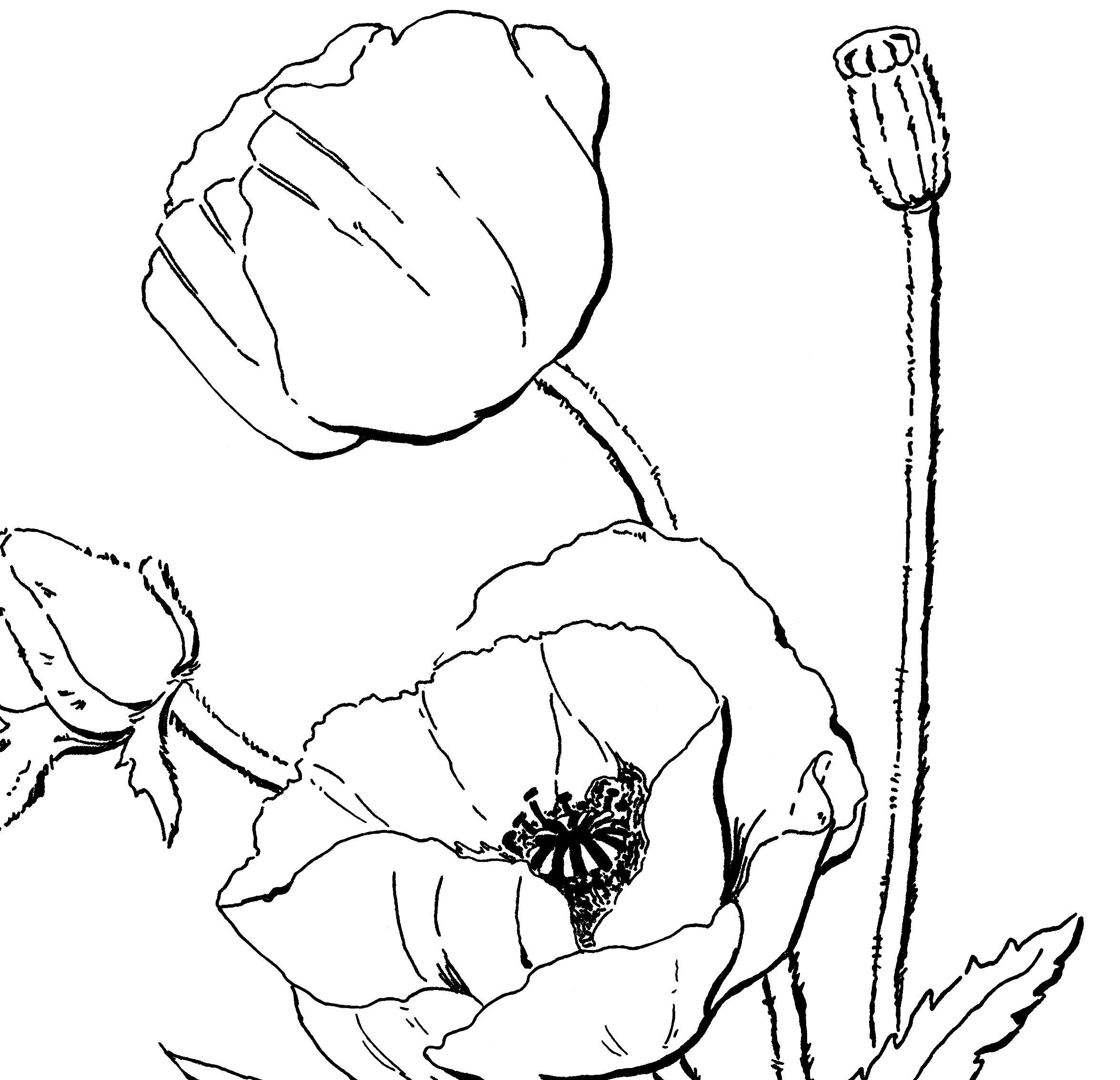 poppy coloring page poppy coloring pages poppy page coloring
