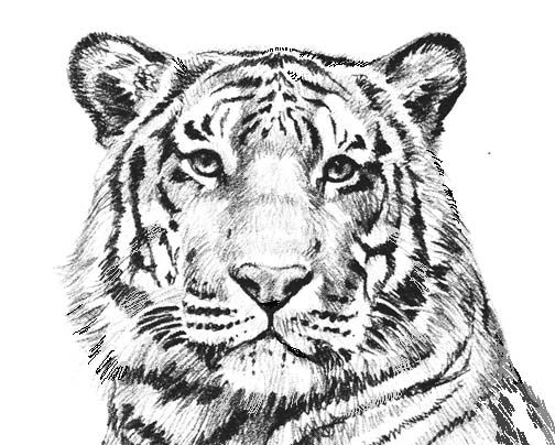 printable pictures of tigers free printable tiger coloring pages for kids printable pictures tigers of