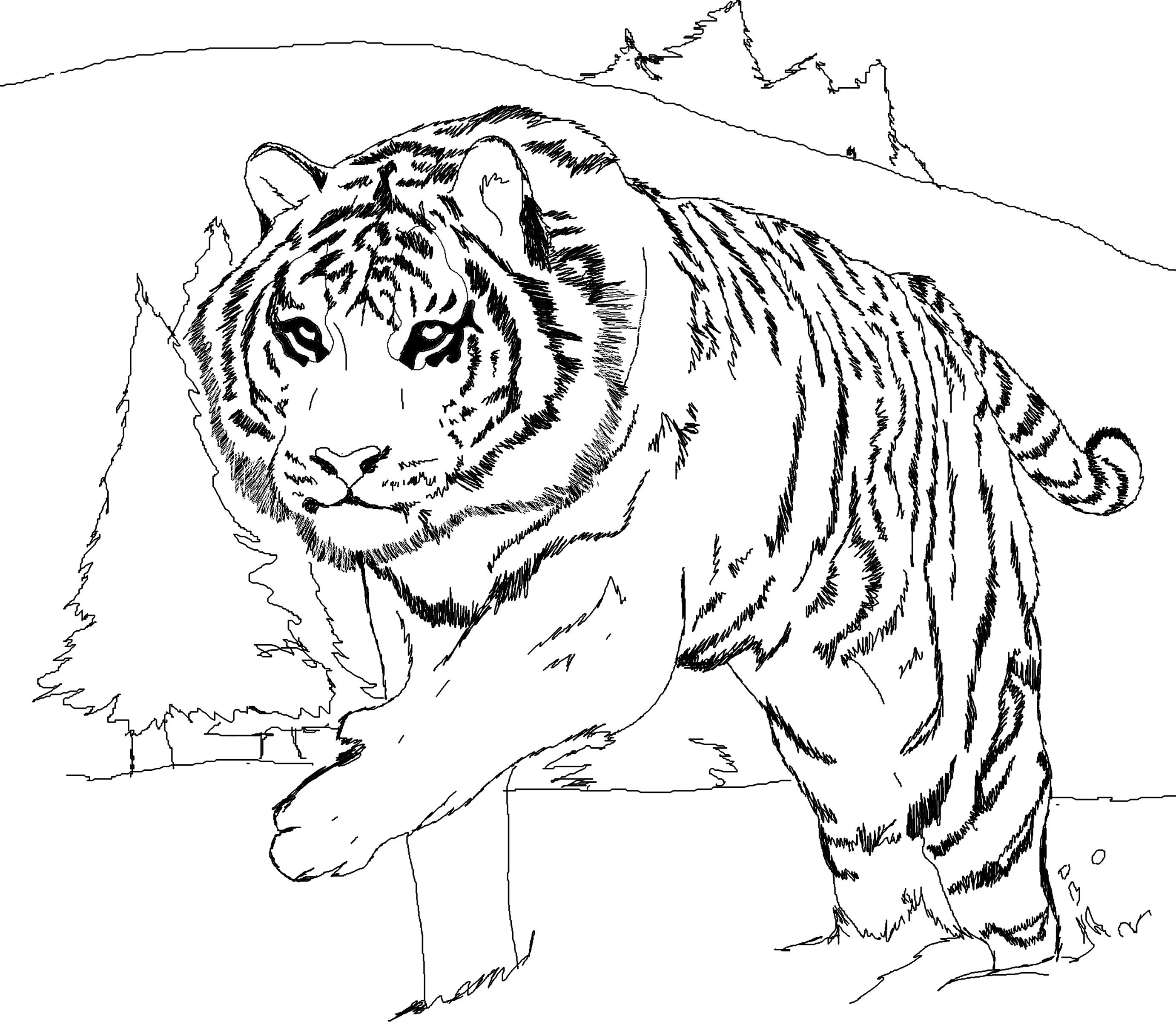 printable pictures of tigers free tiger coloring pages of pictures printable tigers
