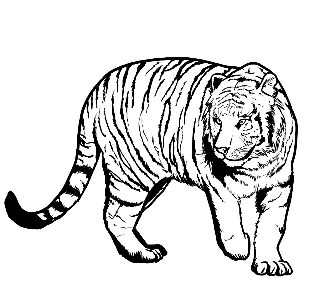printable pictures of tigers tiger coloring pages bestofcoloringcom of pictures tigers printable