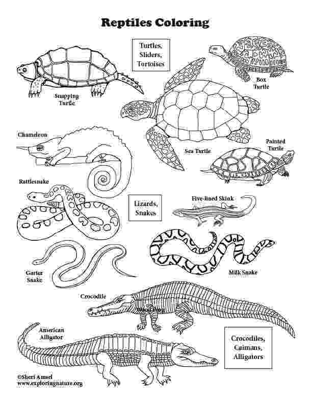 reptile coloring pages the learning zone arts crafts reptile pages coloring