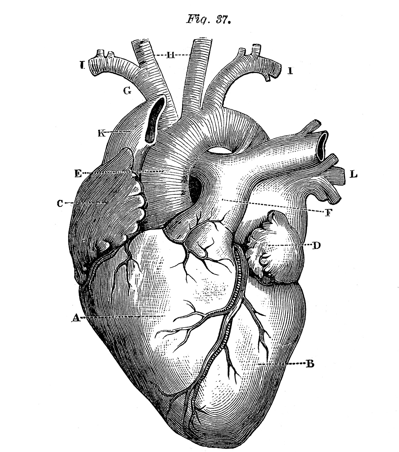 s in a heart 5 anatomical heart pictures the graphics fairy a heart s in