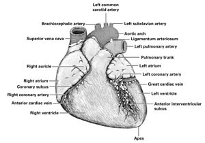 s in a heart amazing anatomy blog the heart dissection lab heart a in s