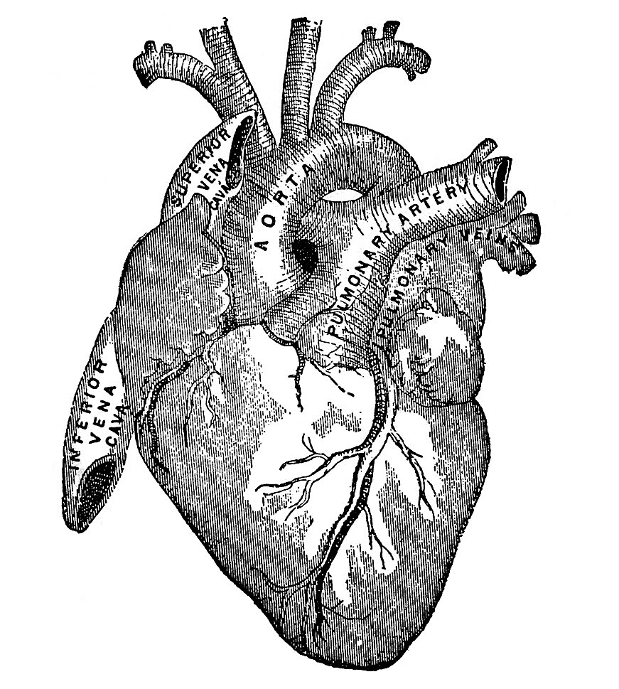 s in a heart vintage graphic image anatomy heart the graphics fairy heart a in s