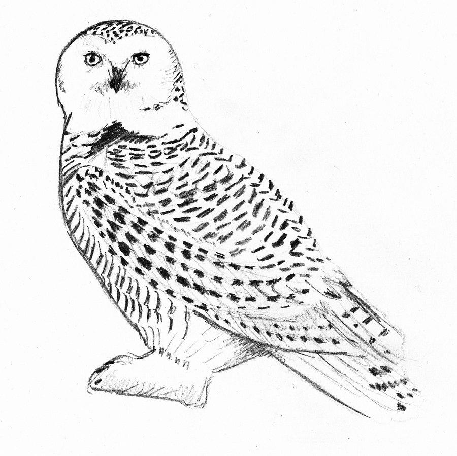 snowy owl coloring page snowy owl coloring page free printable coloring pages coloring owl page snowy