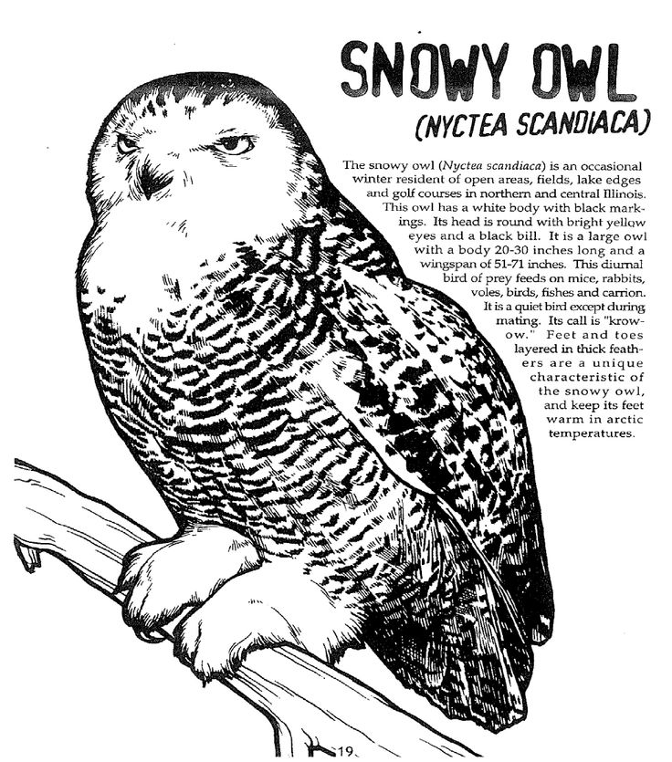 snowy owl coloring page snowy owl drawing at getdrawingscom free for personal page coloring owl snowy