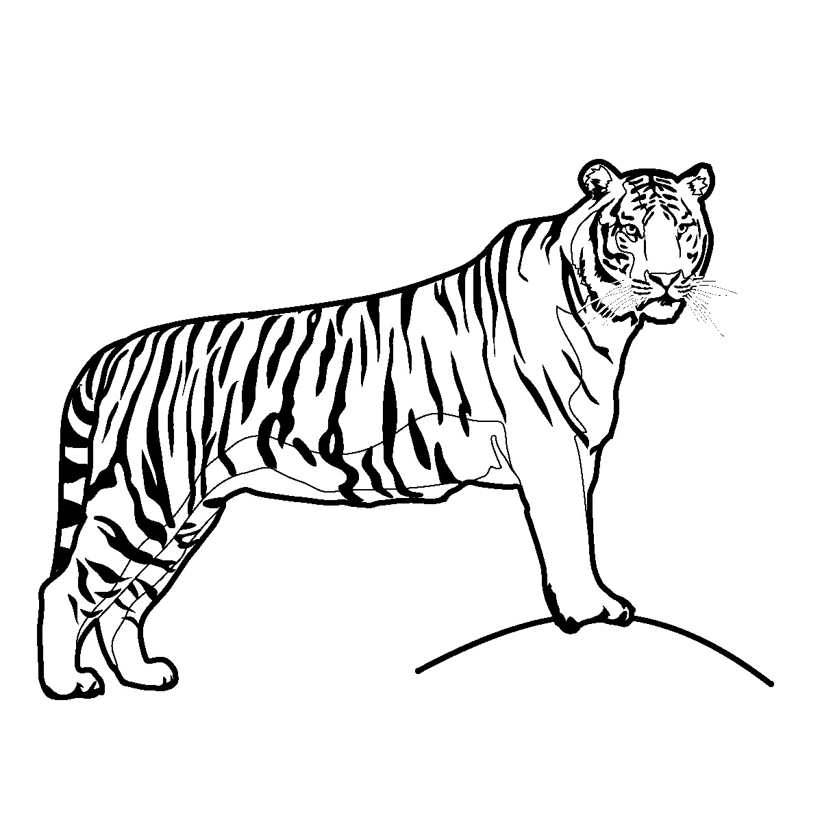 tiger images for colouring free printable tiger coloring pages for kids colouring for images tiger
