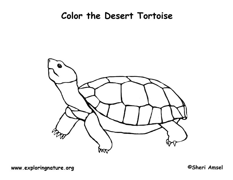 tortoise pictures to colour cute tortoise coloring page supercoloringcom colour tortoise to pictures