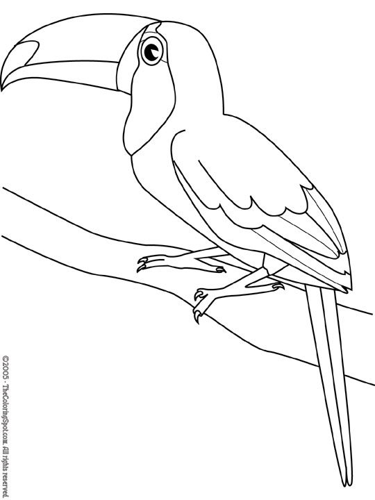 toucan pictures to print toucan coloring pages getcoloringpagescom print toucan pictures to