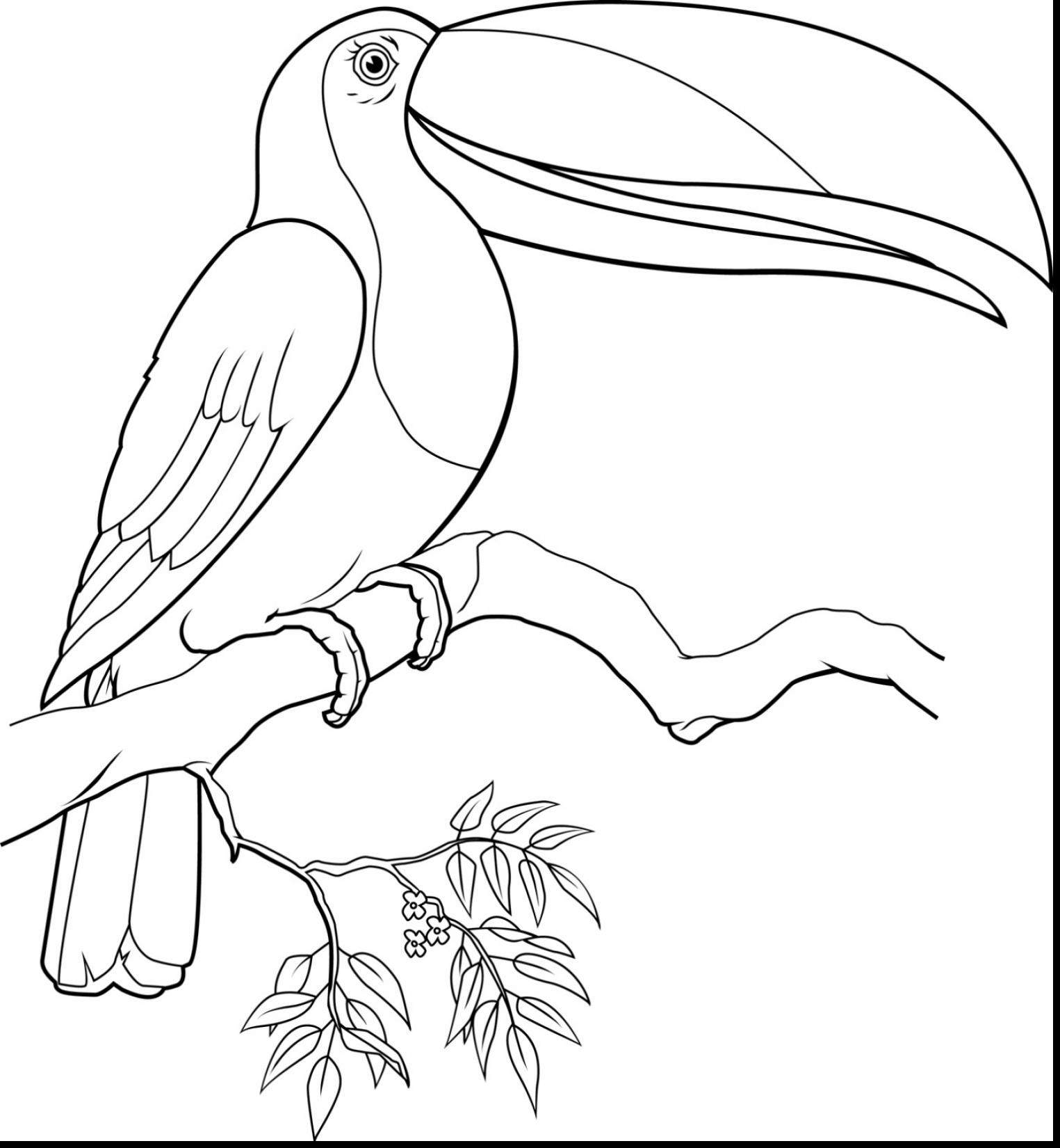 toucan pictures to print toucan coloring pages to download and print for free to pictures toucan print