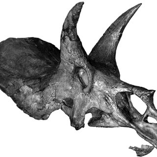 triceratop pdf the skull of triceratops in the palaeontology triceratop