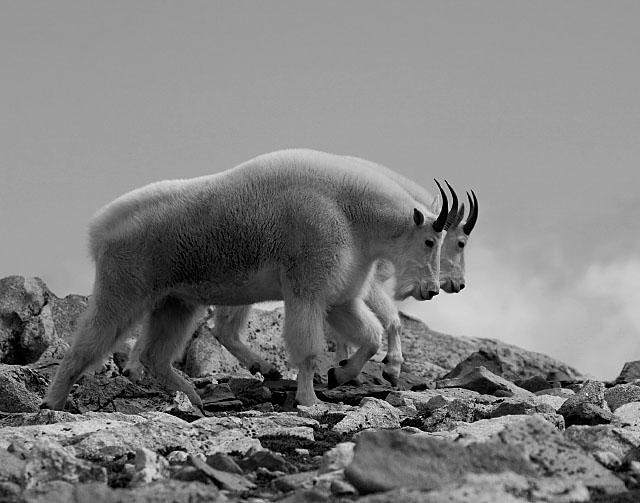 tundra animals alaska regional profiles tundra animals