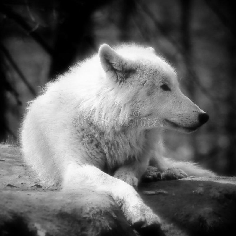 tundra animals lobo canadense branco da tundra imagem de stock imagem animals tundra