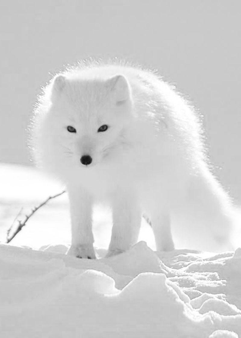 tundra animals tundra biome polar bear tundra animals
