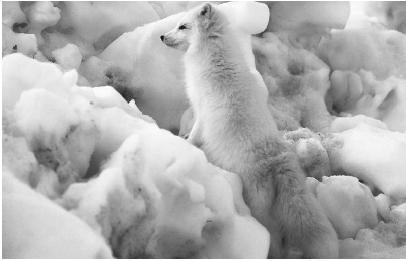 tundra animals tundra tundra animals